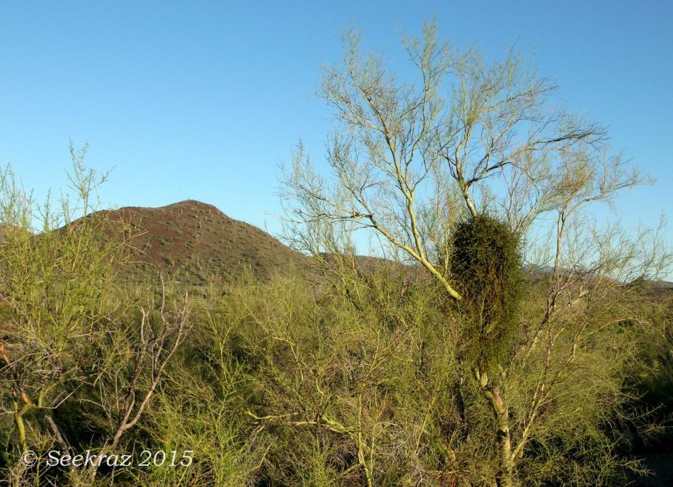 Desert mistletoe in Palo Verde tree