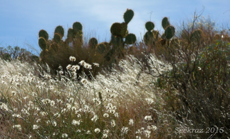 Dried wildflowers and Prickly Pear cactus silhouette