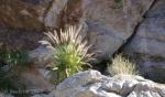 Fountain grass in Ford Canyon of White TankMountains