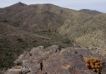 Hedgehog cactus and White Tank Mountain panorama from Goat CampTrail