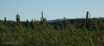 Line of sight – eye level with Creosote and Saguarocacti