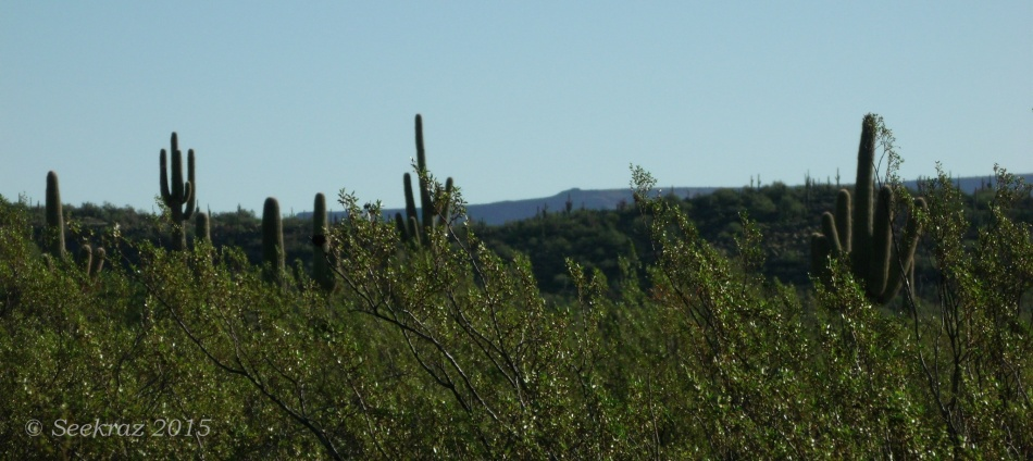 Line of sight - eye level with Creosote and Saguaro cacti