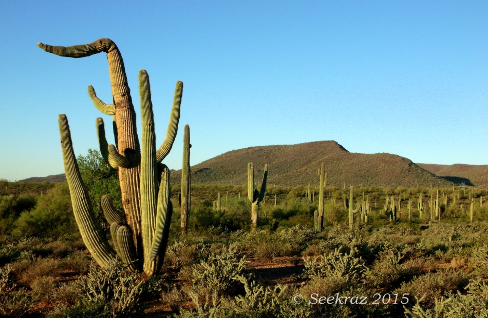 Pointing Saguaro