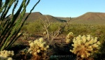 Ocotillo and Cholla cacti with desert tree skeleton and desert hills