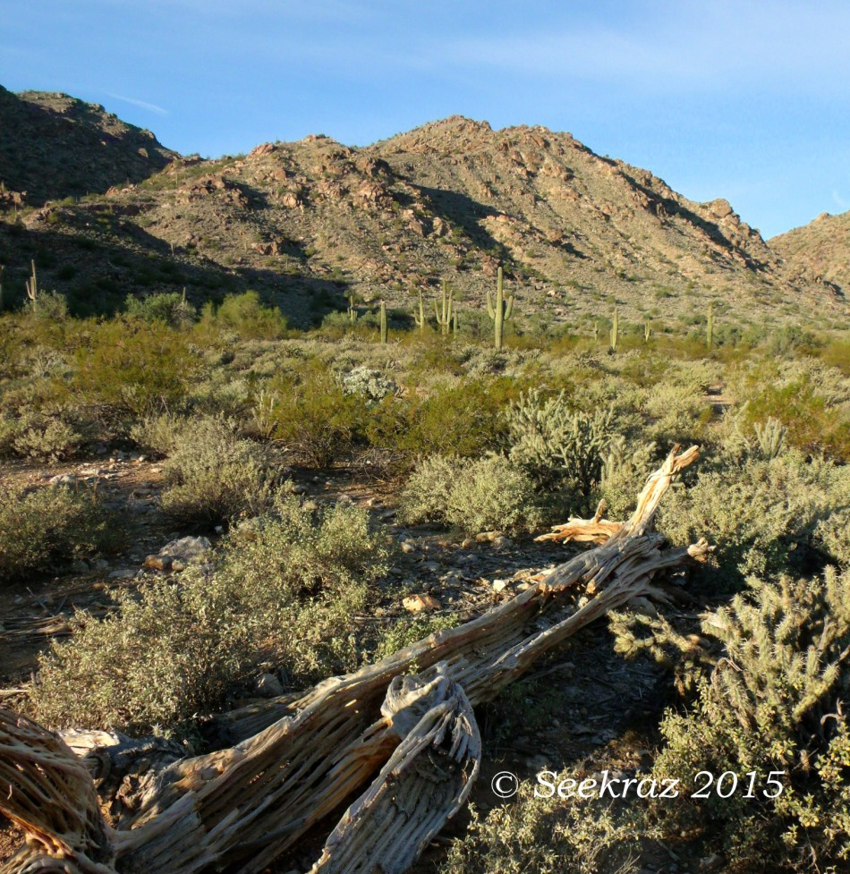 Saguaro skeleton along Ford Canyon Trail in White Tank Mountains