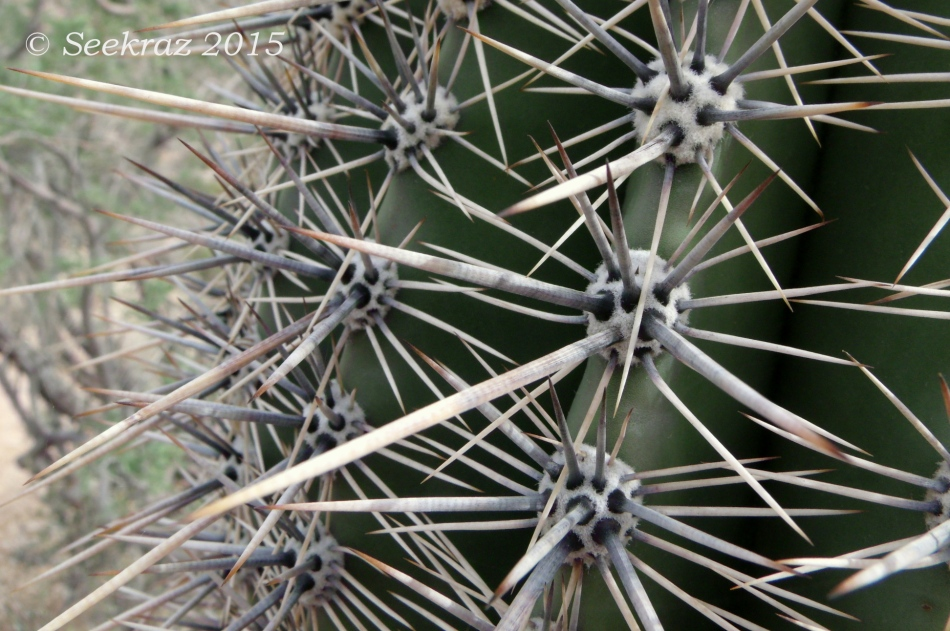 Saguaro spines close-up along Goat Camp Trail