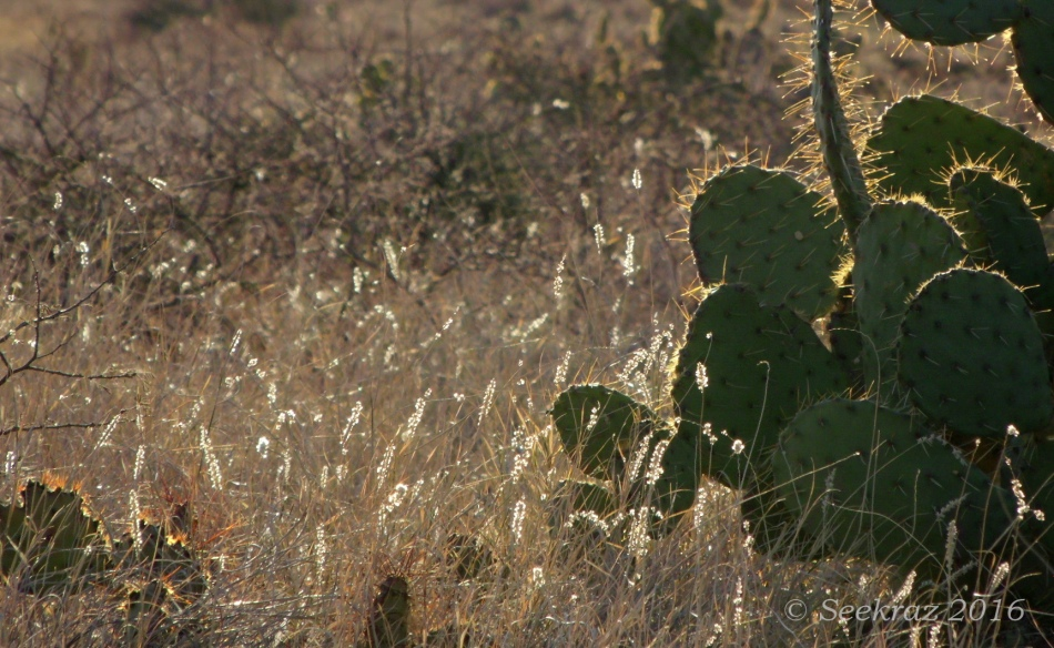 Glowing seedheads and Prickly Pear cacti along Drinking Snake segment of Black Canyon Trail