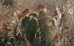 Golden-spined Prickly Pear cactus with wild grasses along Drinking Snake segment of Black CanyonTrail