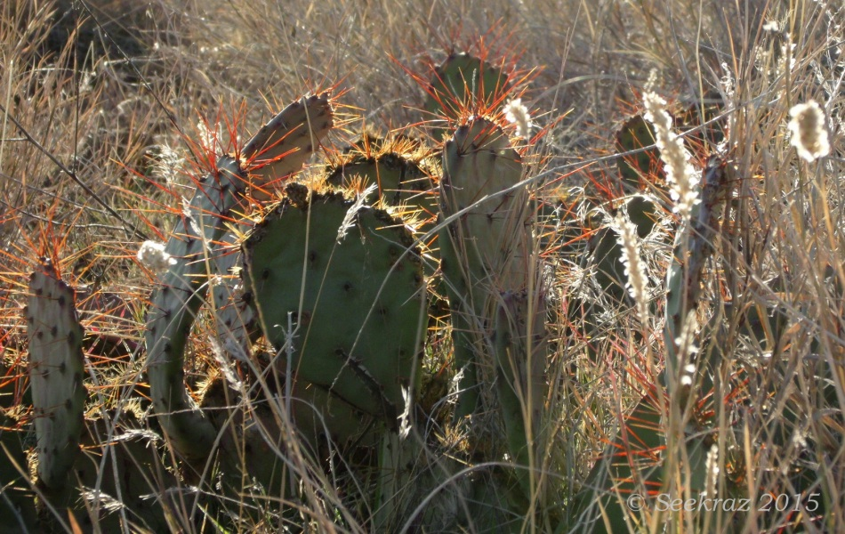 Golden-spined Prickly Pear cactus with wild grasses along Drinking Snake segment of Black Canyon Trail