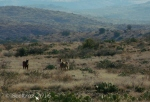 Horses and hillsides along Drinking Snake segment of Black Canyon Trail