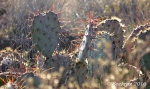 Prickly Pear cactus along Drinking Snake segment of Black Canyon Trail