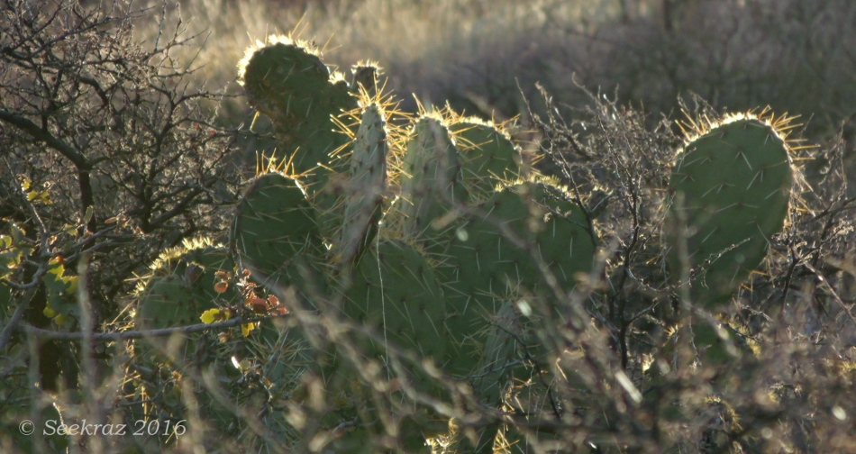 Sun-glow of Prickly Pear cactus along Drinking Snake segment of Black Canyon Trail