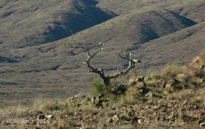 Antler shaped tree along Antelope Creek segment of Black Canyon Trail
