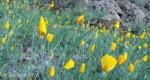 Golden poppies awaiting the sun1