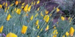 Golden poppies awaiting the sun2