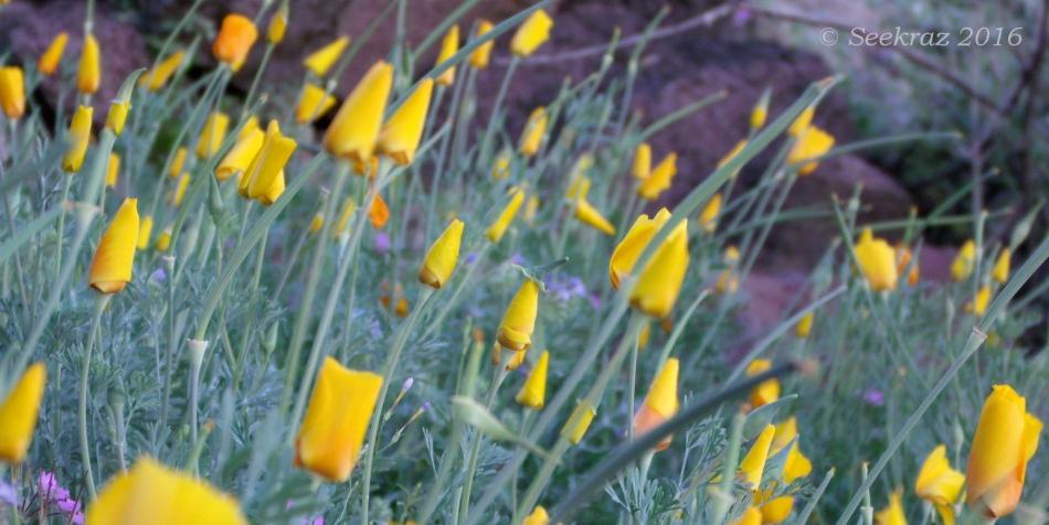 Golden poppies awaiting the sun 2