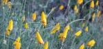 Golden poppies awaiting the sun3