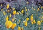Golden poppies awaiting the sun5