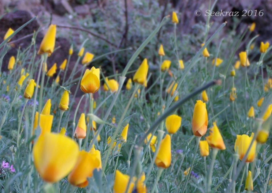 Golden poppies awaiting the sun 5