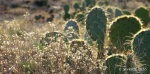 Prickly Pear cactus and winter-dried wildflowers along Antelope Creek segment of Black CanyonTrail