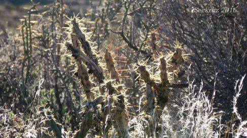 Staghorn Cholla with sunrise shining spines