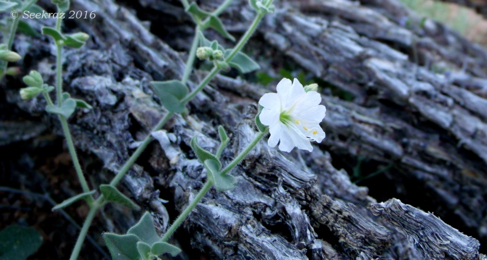 Desert wildflower on Tramonto Hills