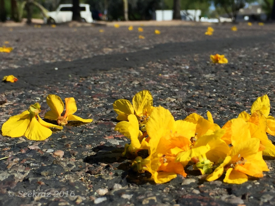 Palo Verde blossoms in parking lot