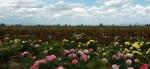 Field of roseslandscape