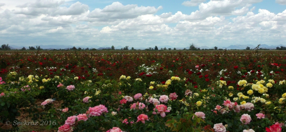 Field of roses landscape