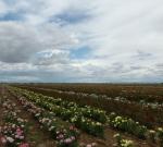 Field of rosesportrait