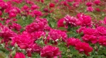 Fullness of pinkroses