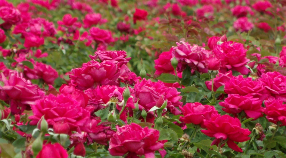 Fullness of pink roses