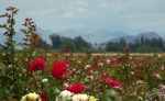 Mountains and roses