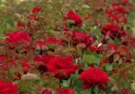 Rich red rosebuds