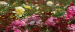 Rose bushes insideview