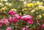 Roses in stages