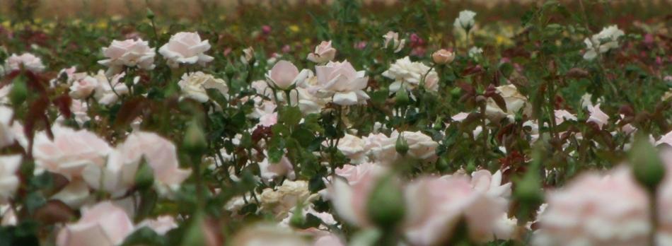 Soft white roses