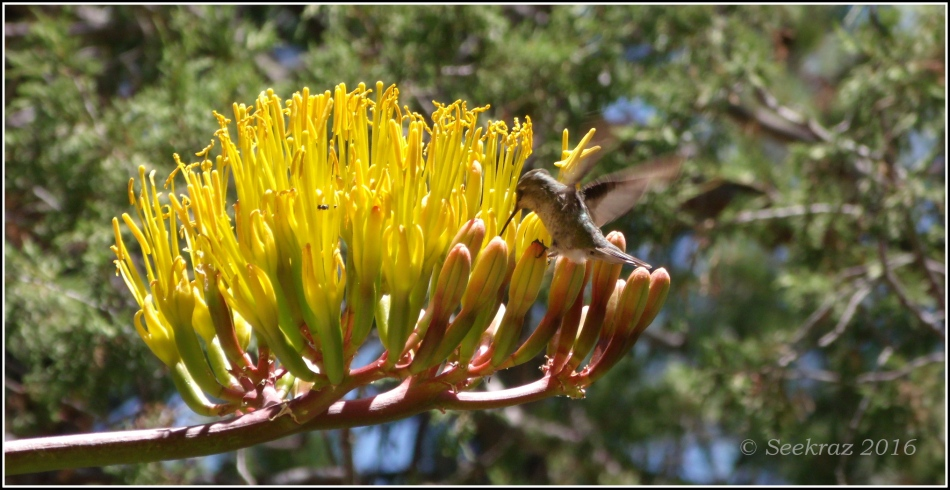 Hummingbird on Century Plant blossom
