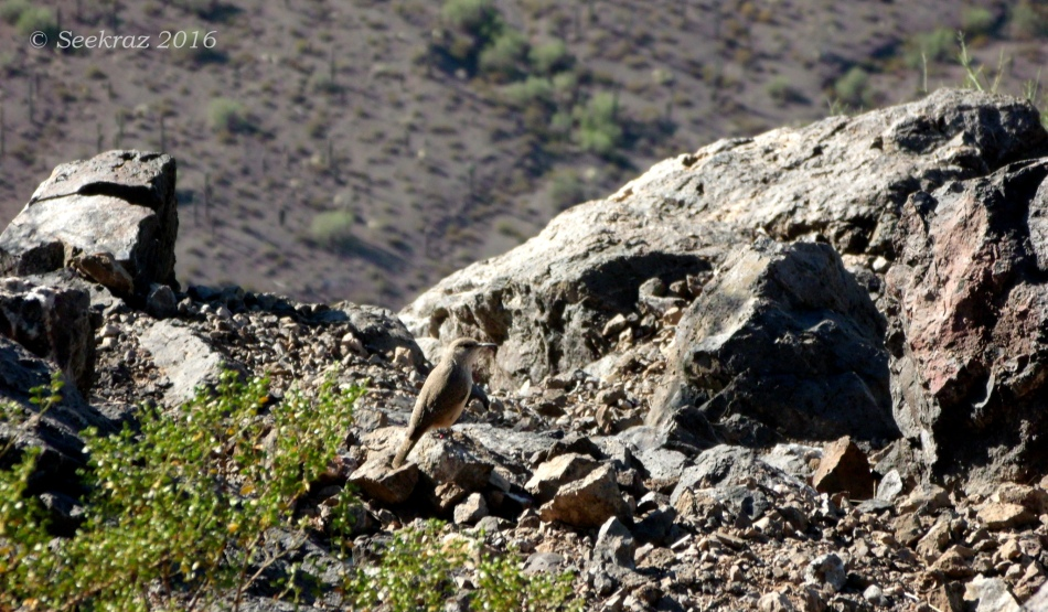 Picacho Peak summit wildlife