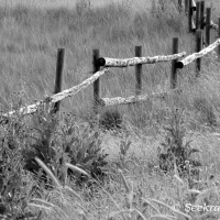 Thistle and fence posts...in black and white