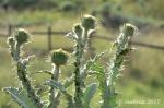 West Jordan Preserve thistlecluster