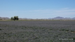 Alfafa fields 1