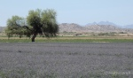 Alfafa fields 2