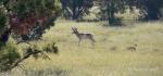 Anderson Mesa Antelope