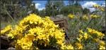 Anderson Mesa Wildflowers