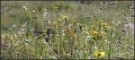 High country meadowwildflowers