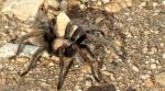 Tarantula in Willow CanyonWTM