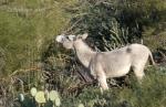 Wild burro two,WJT