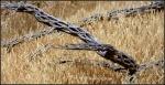 Cholla skeleton in wildgrass