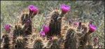 Desert blossoms 2